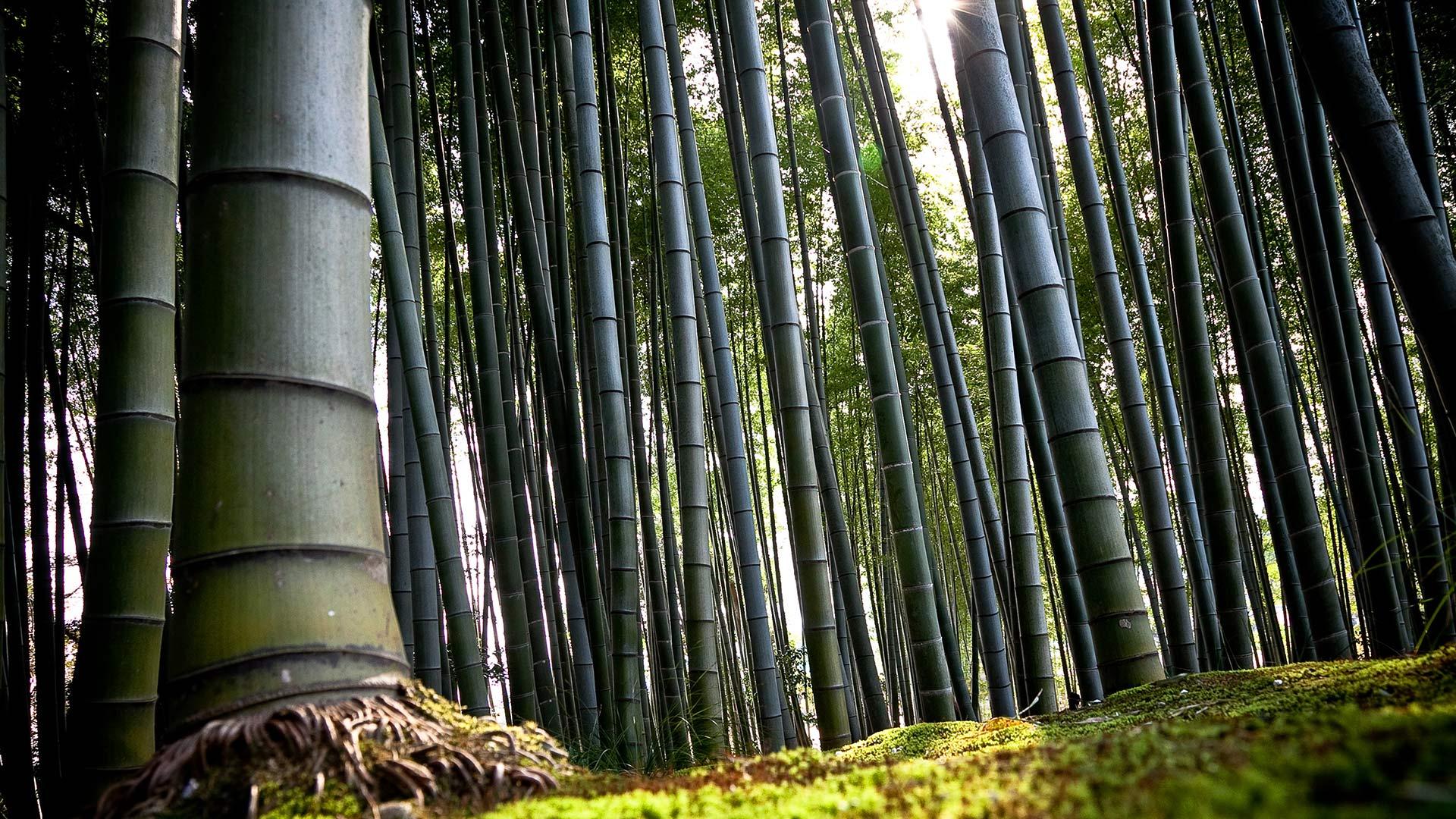 WWEB_photo_foretbamboo_foresta-bambu2